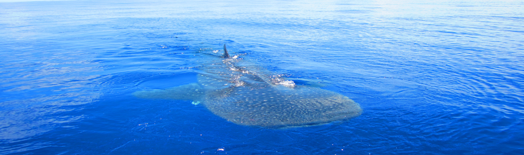 """<a href=""""/fr/content/rencontre-avec-les-baleines"""">Rencontre avec les baleines</a>"""
